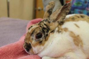 Ya puedes comprar Online los caida de pelo en conejos