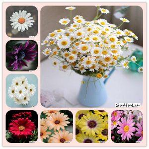 La mejor recopilación de jardin semillas crisantemo Flores para comprar – El TOP 30