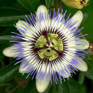 los clavos de cristo flor disponibles para comprar online – Los Treinta más vendidos