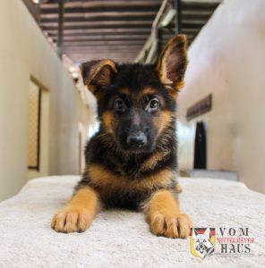 Selección de caida de pelo en perros pastor aleman para comprar en Internet – Favoritos por los clientes