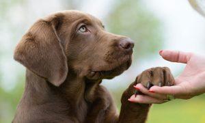 Listado de caida de pelo en perros labradores para comprar en Internet – Los Treinta más solicitado